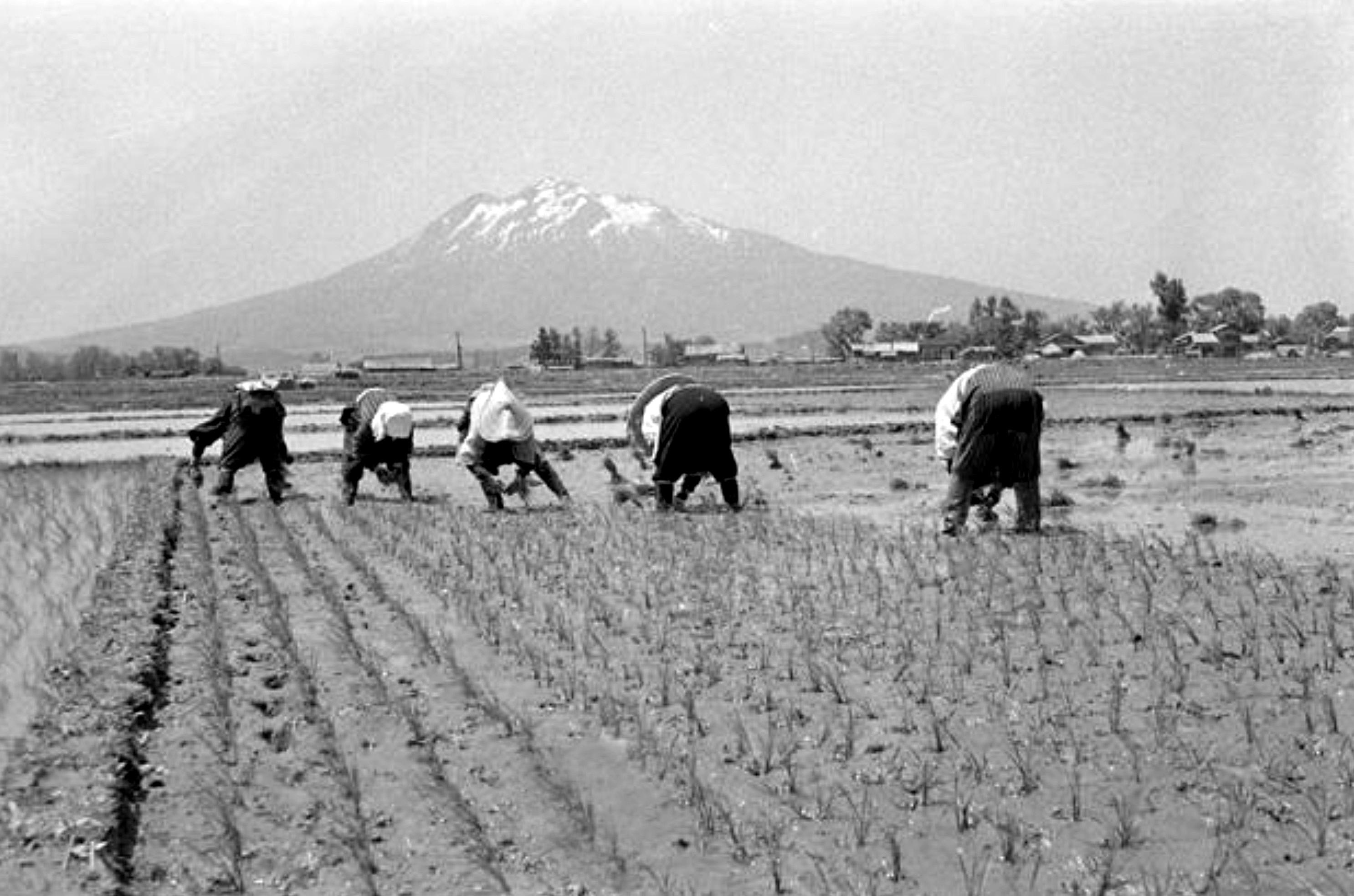 昭和31年、現在の弘前市城西付近の田植え風景(佐々木直亮氏撮影)