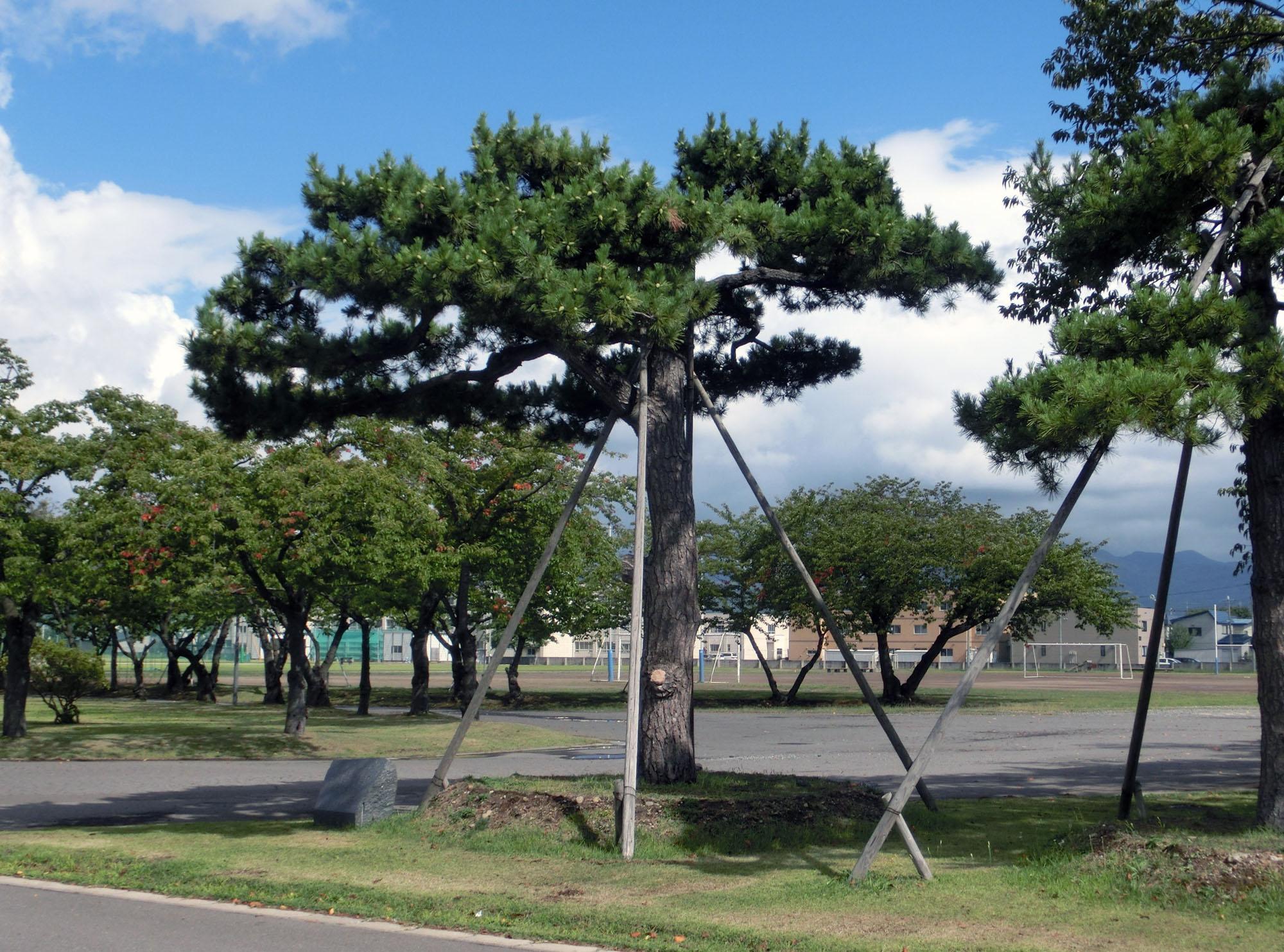 校門を入ってすぐ右に直立不動の「三中の松」(筆者撮影)